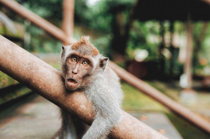 flying monkey, narcissism, narcissist, littleredsurvivor.com